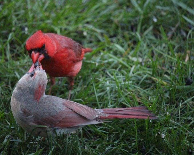 cardinals sharing seeds