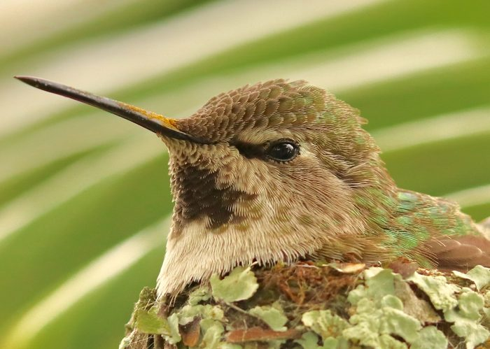A close-up of a female Anna's hummingbird sitting on a nest with pollen on its beak.