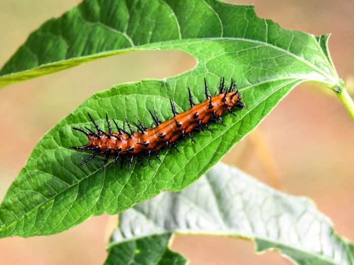 A gulf fritillary caterpillar on a leaf.