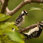 How to Identify a Hairy Woodpecker