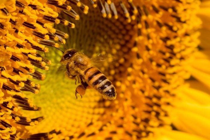 how to help bees, honeybee on sunflower