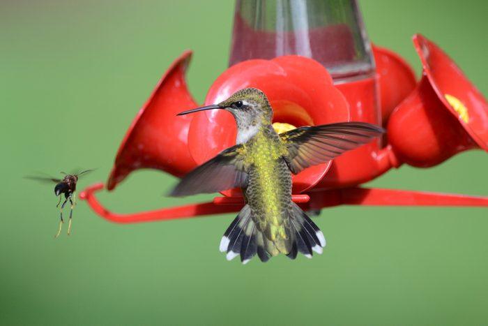 A wasp disrupts a hummingbird at a sugar-water feeder.