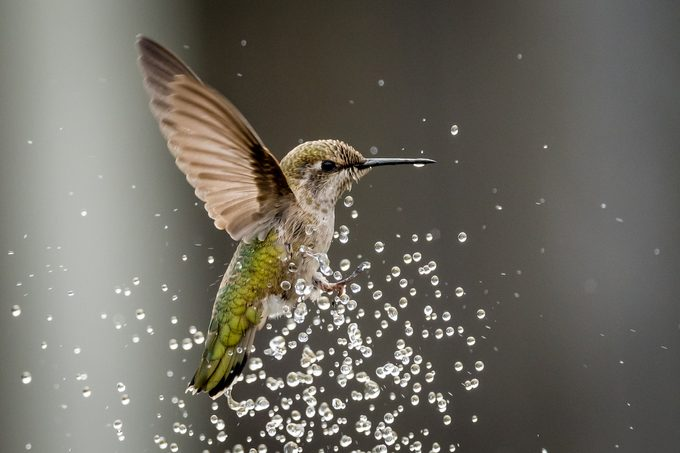 A female Anna's hummingbird plays in the water of a fountain.