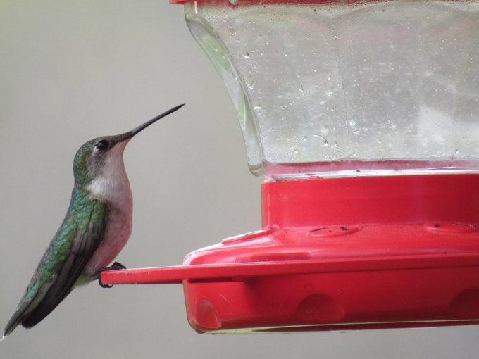 hummingbird at sugar water feeder