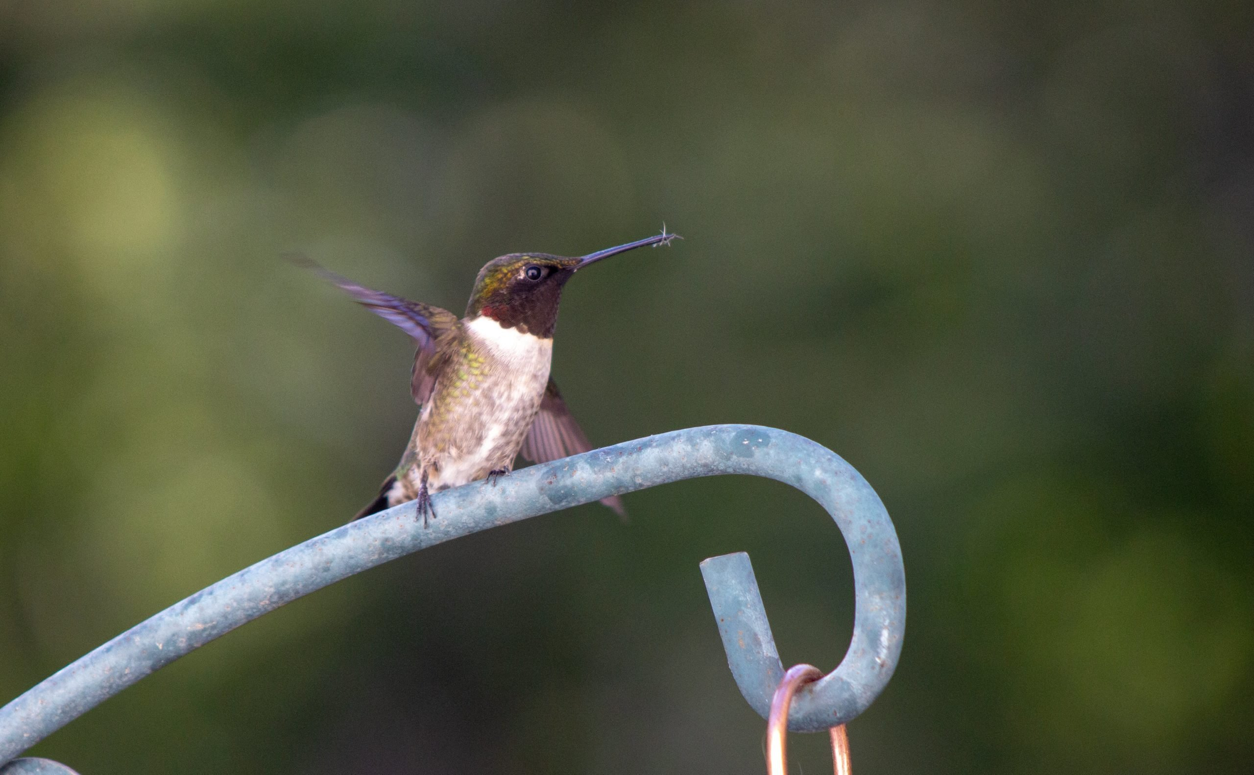 hummingbird eating a mosquito