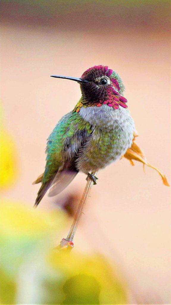 A male Anna's hummingbird perches on a rose bush branch.