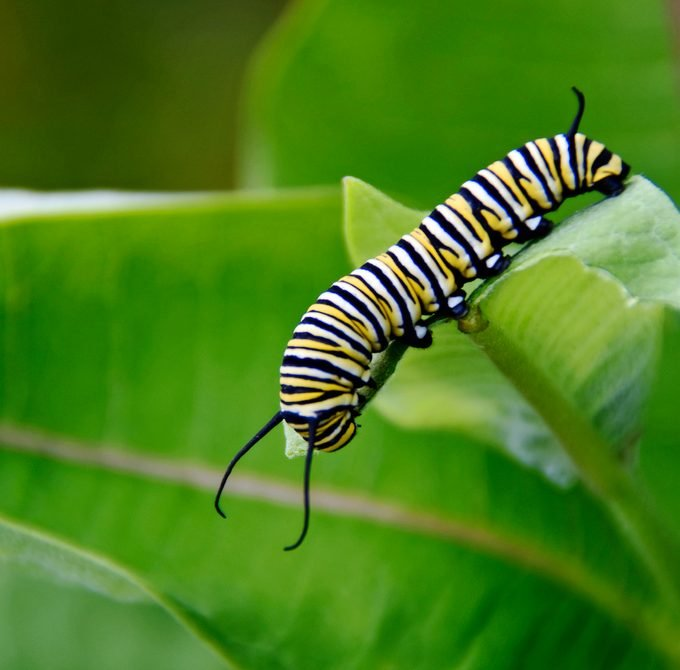 A monarch caterpillar crawls across a milkweed leaf.