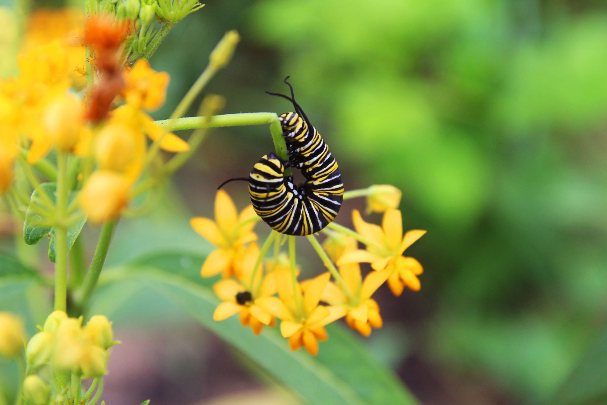 A monarch caterpillar bends around a milkweed plant.