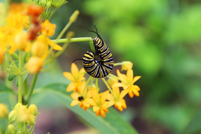 A monarch caterpillar bends around a milkweed plant.