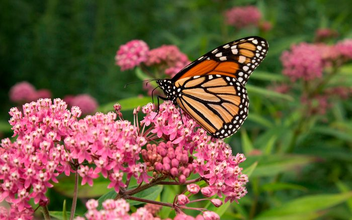 A monarch butterfly lands on a swamp milkweed plant.
