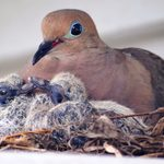 Everything You Need to Know About Baby Mourning Doves