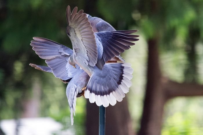 mourning doves in flight