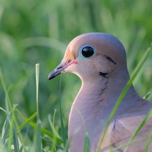 15 Breathtaking Photos of Mourning Doves