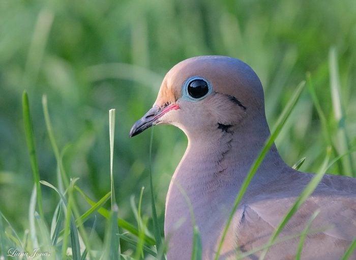 mourning dove closeup