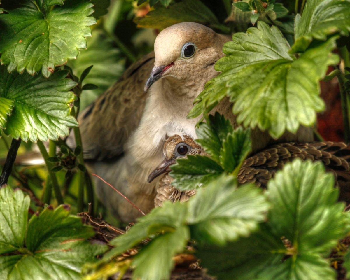 mourning dove nest