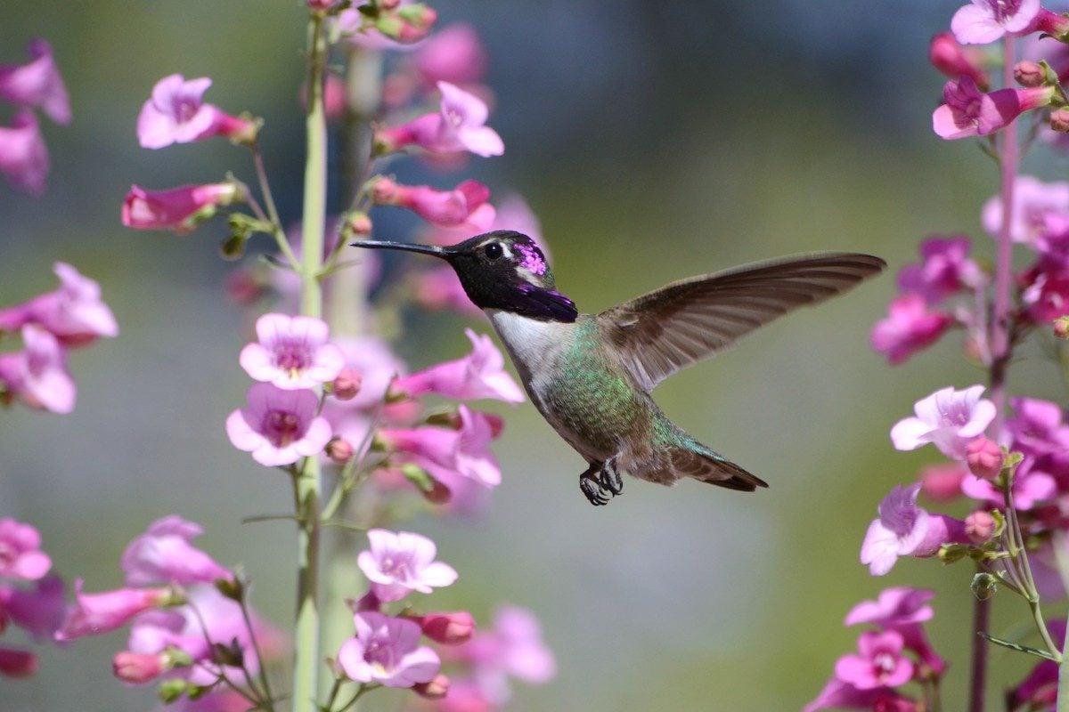 hummingbird and penstemon