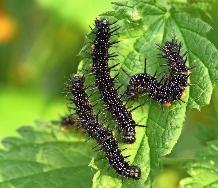 Three red admiral caterpillars gathered together on a leaf.