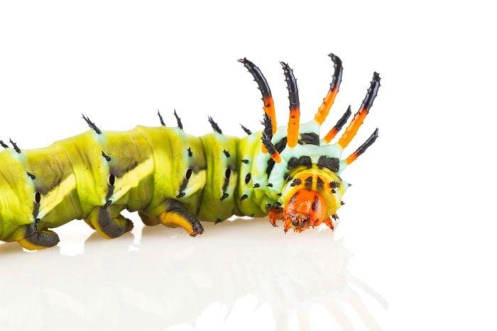 A closeup of a regal moth caterpillar.