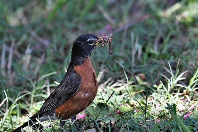 signs of spring, robin