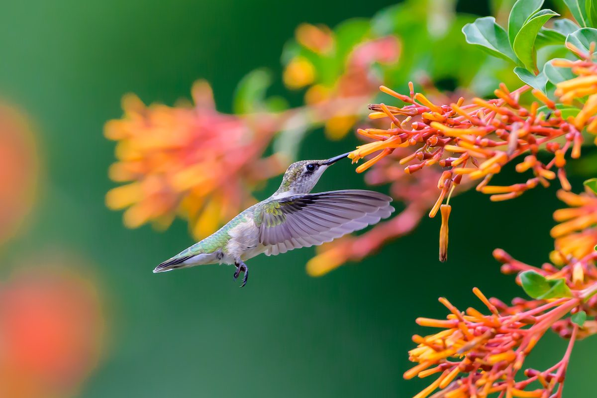 A ruby-throated hummingbird sips nectar from a firecracker plant.