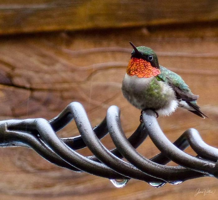 A ruby-throated hummingbird sits on a deck after a rainstorm.