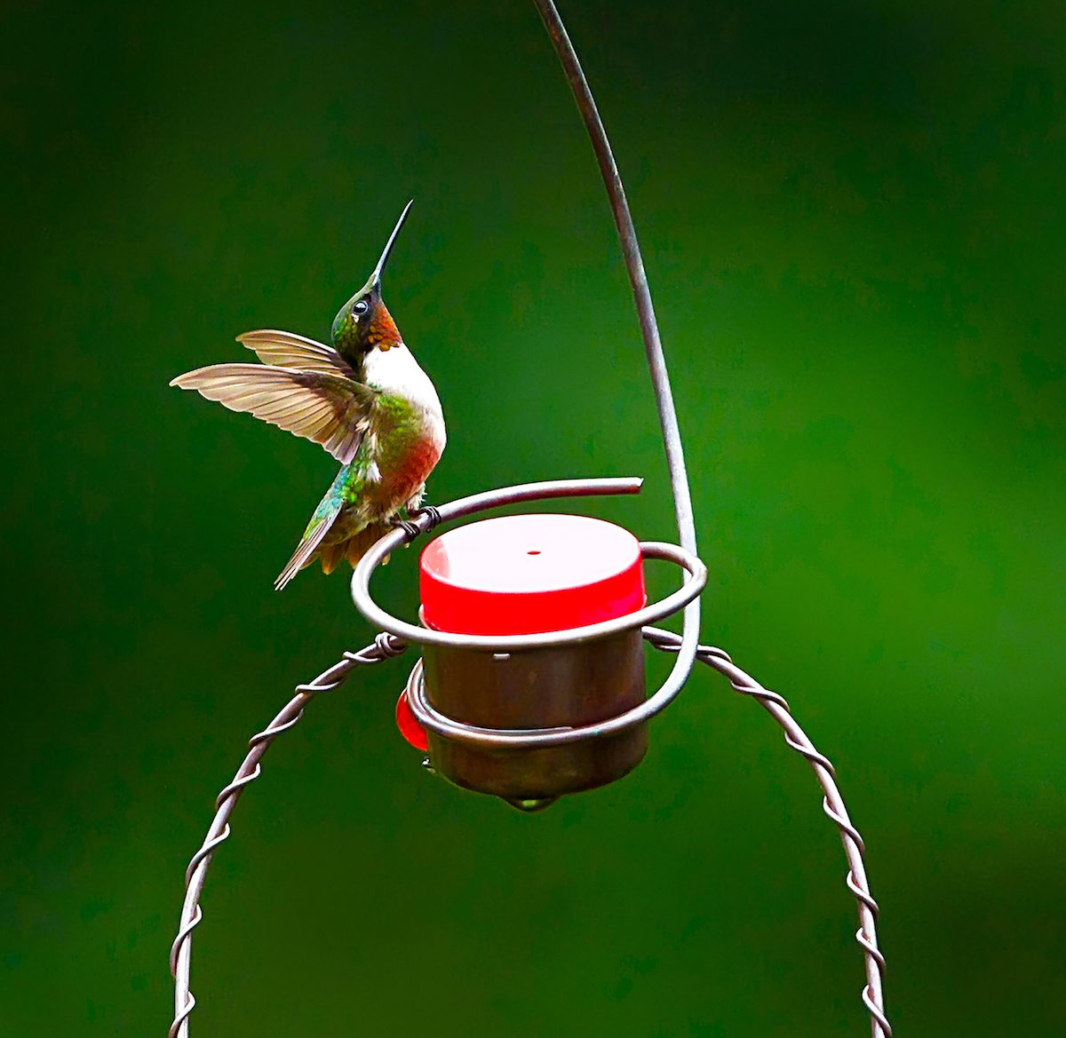 A male ruby-throated hummingbird spreads his wings while sitting on a hummingbird feeder.