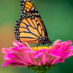 7 Fascinating Monarch Butterfly Facts