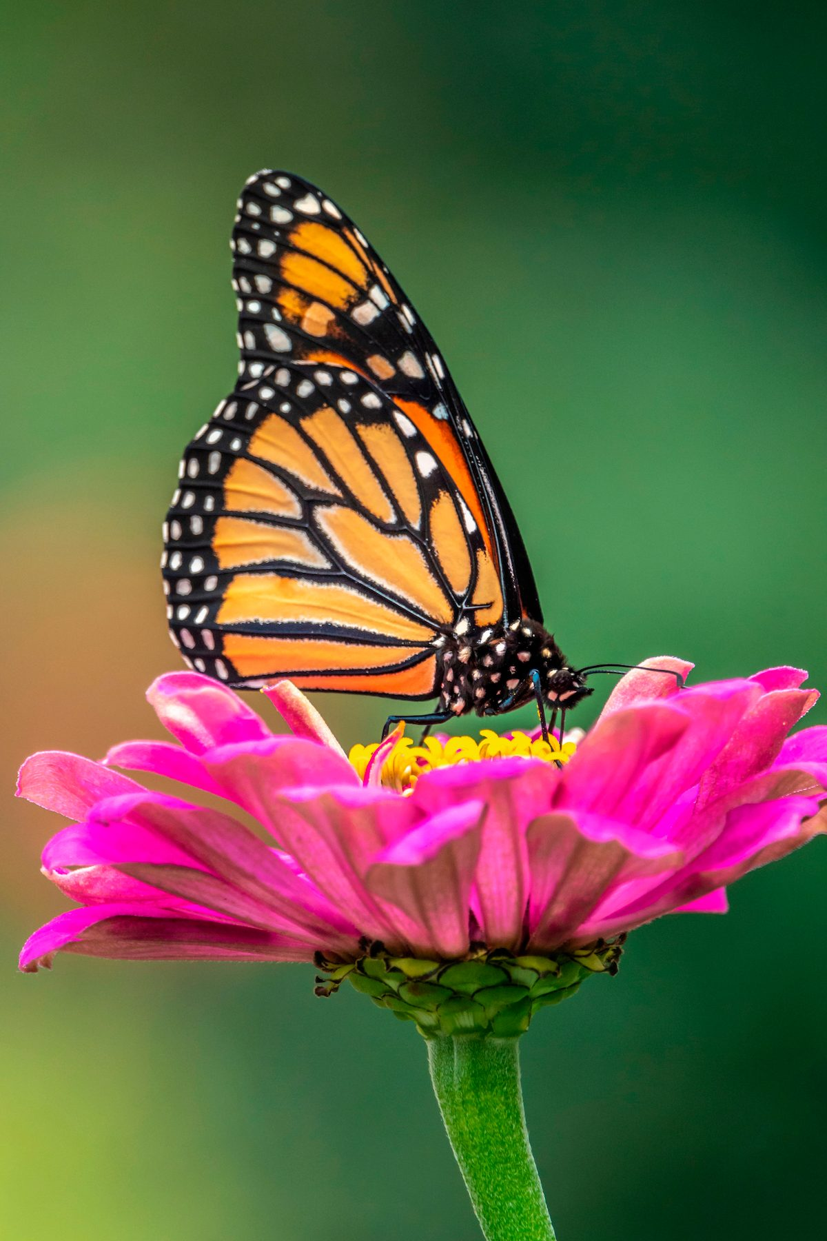 Monarch butterfly poses on a flower.