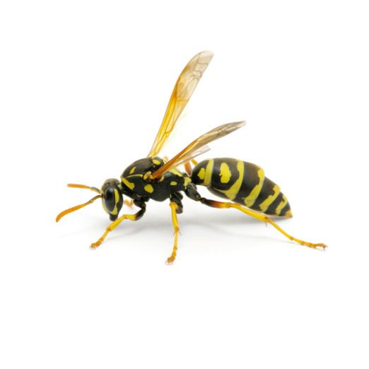 6 Key Differences Between Bees and Wasps