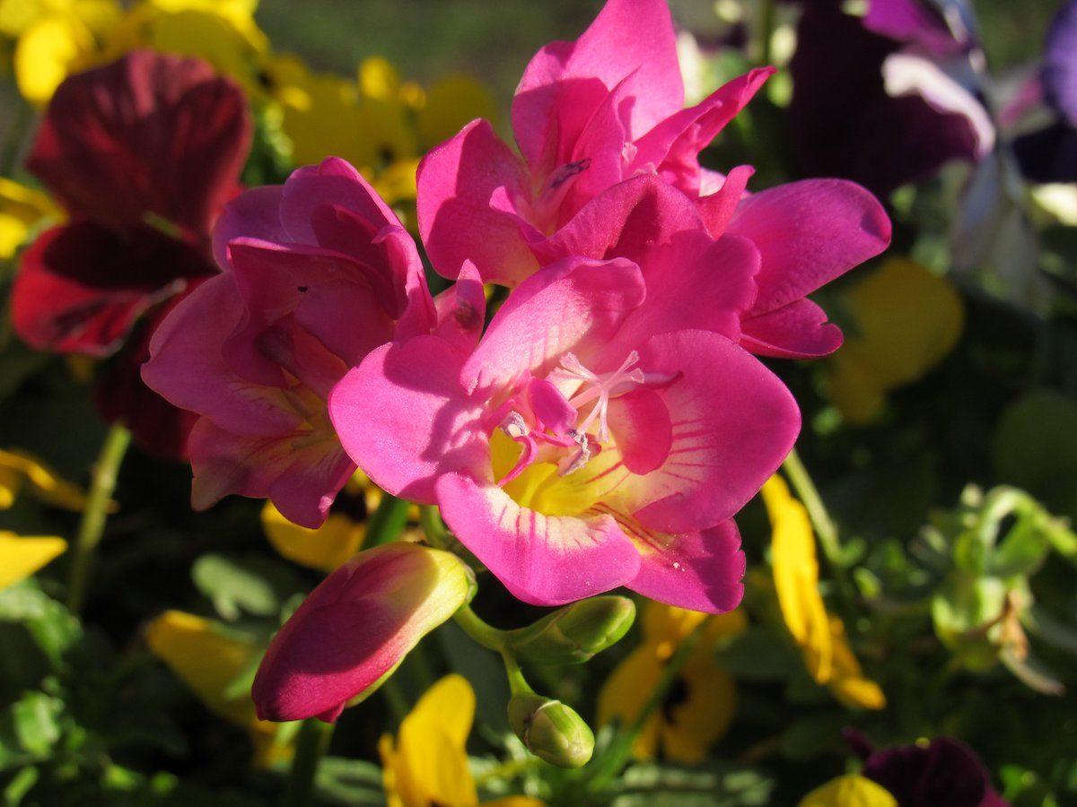 snapdragon blooms