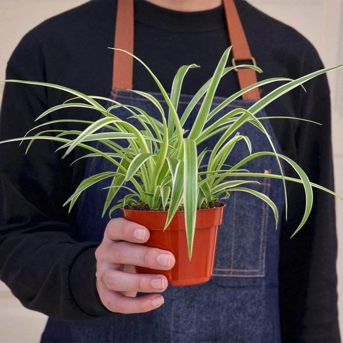 A gardener holds a spider plant in a pot.