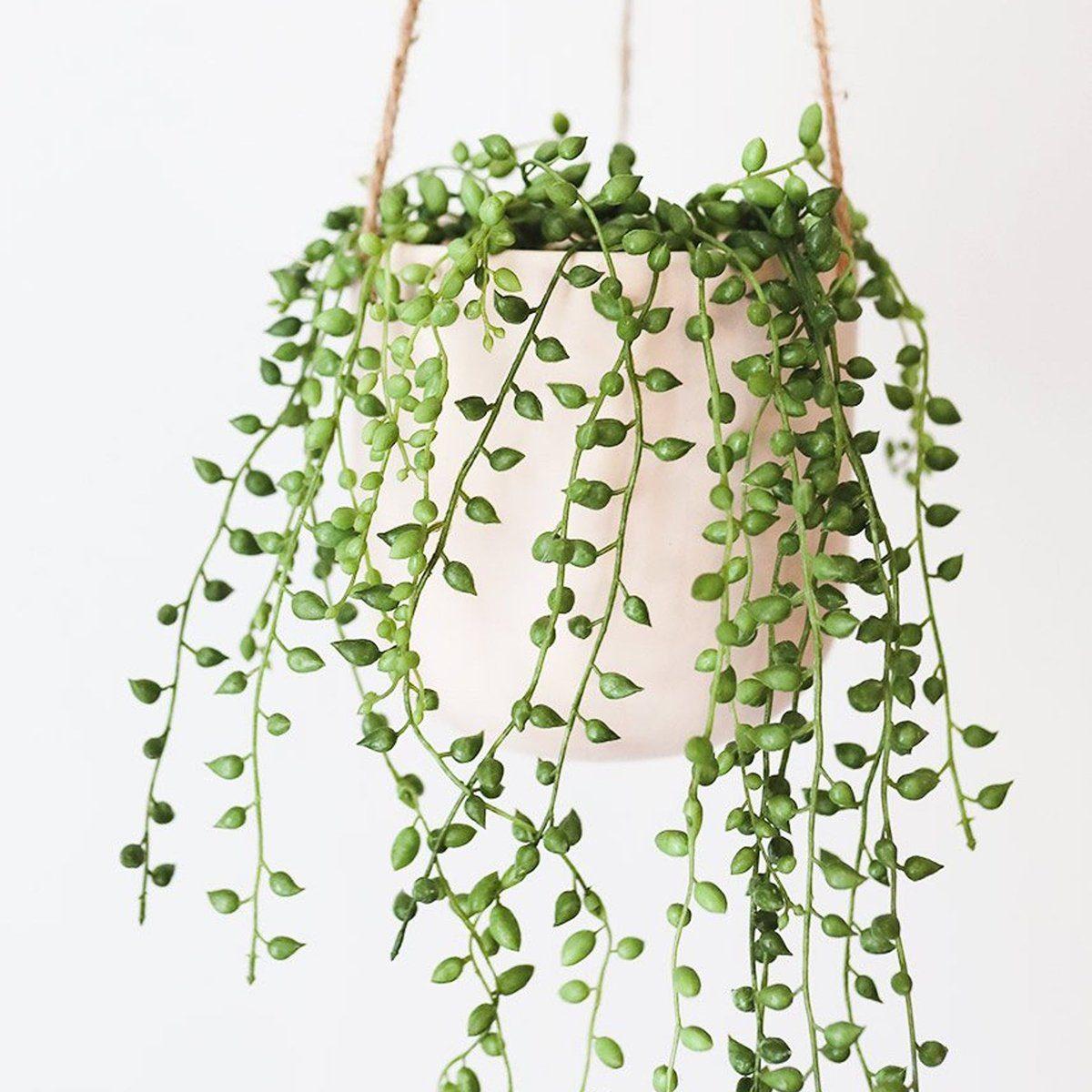 String of Pearls | 4 inch | Senecio Rowleyanus | Live Succulent Hanging Plant