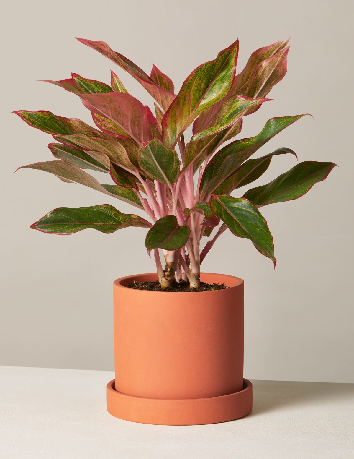 red agalonema houseplant