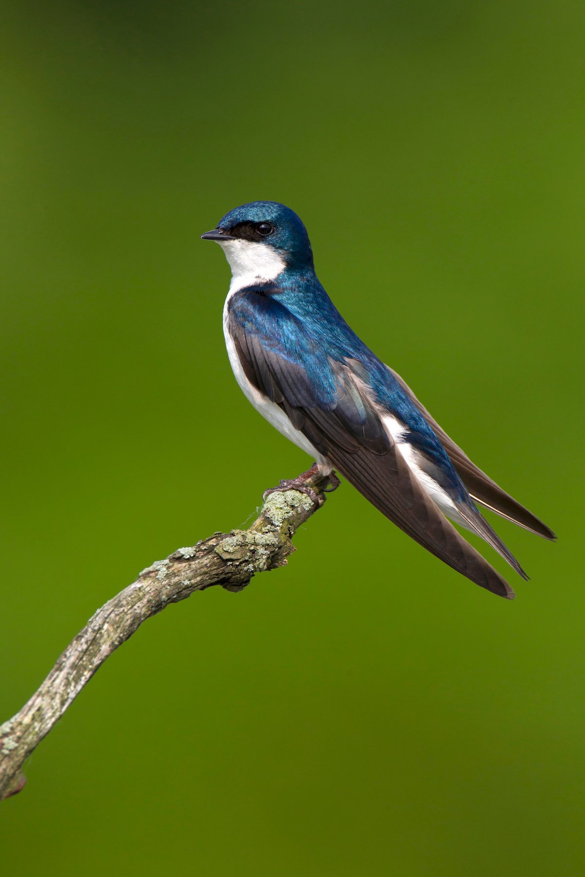 Tree swallow perched on branch.