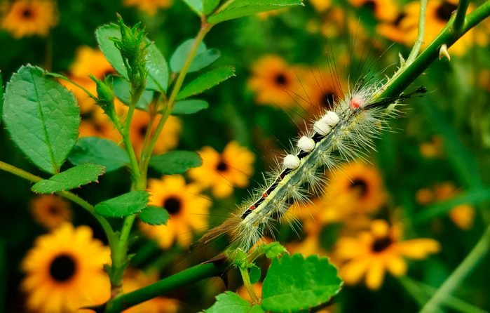 A white-marked tussock caterpillar on a rose stem.