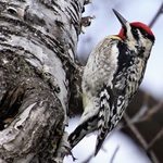 Sapsucker Birds: Woodpeckers With a Sweet Tooth