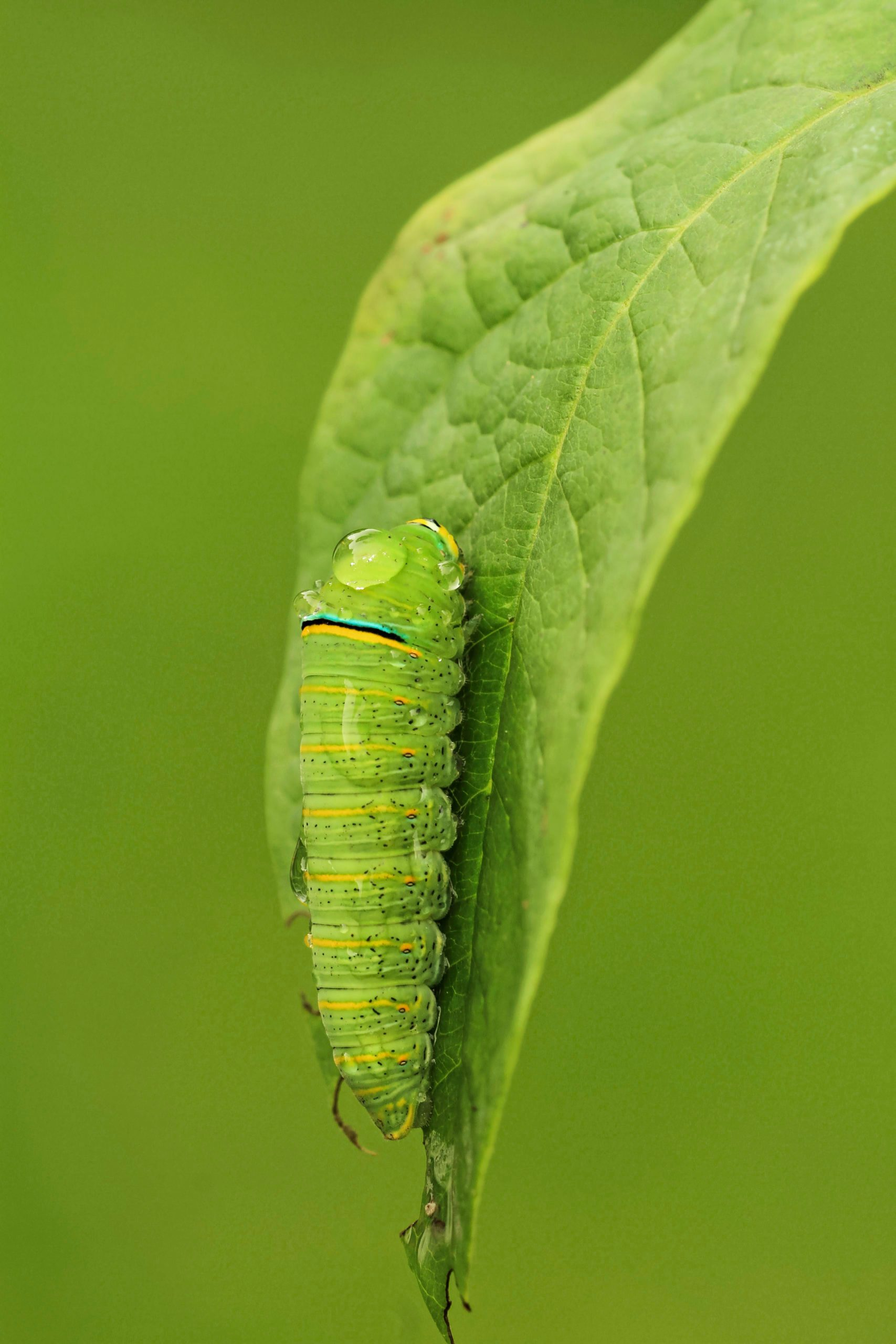 A zebra swallowtail caterpillar clinging to a leaf.