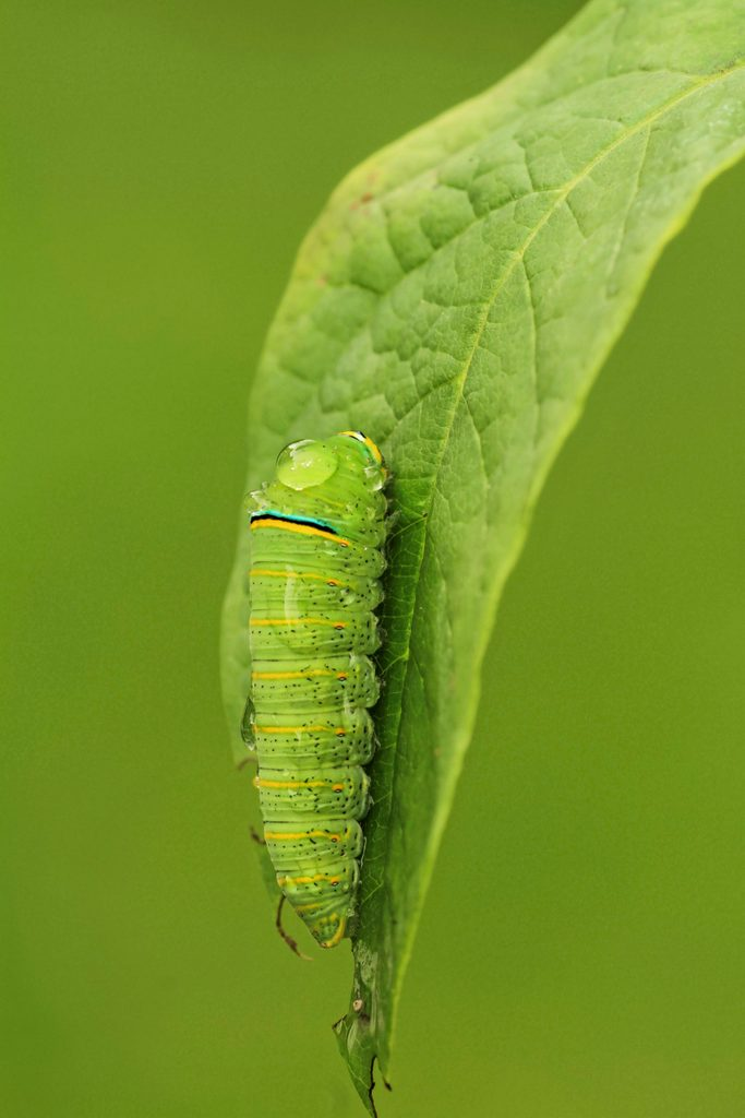 A zebra swallowtail caterpillar clinging to a leaf.