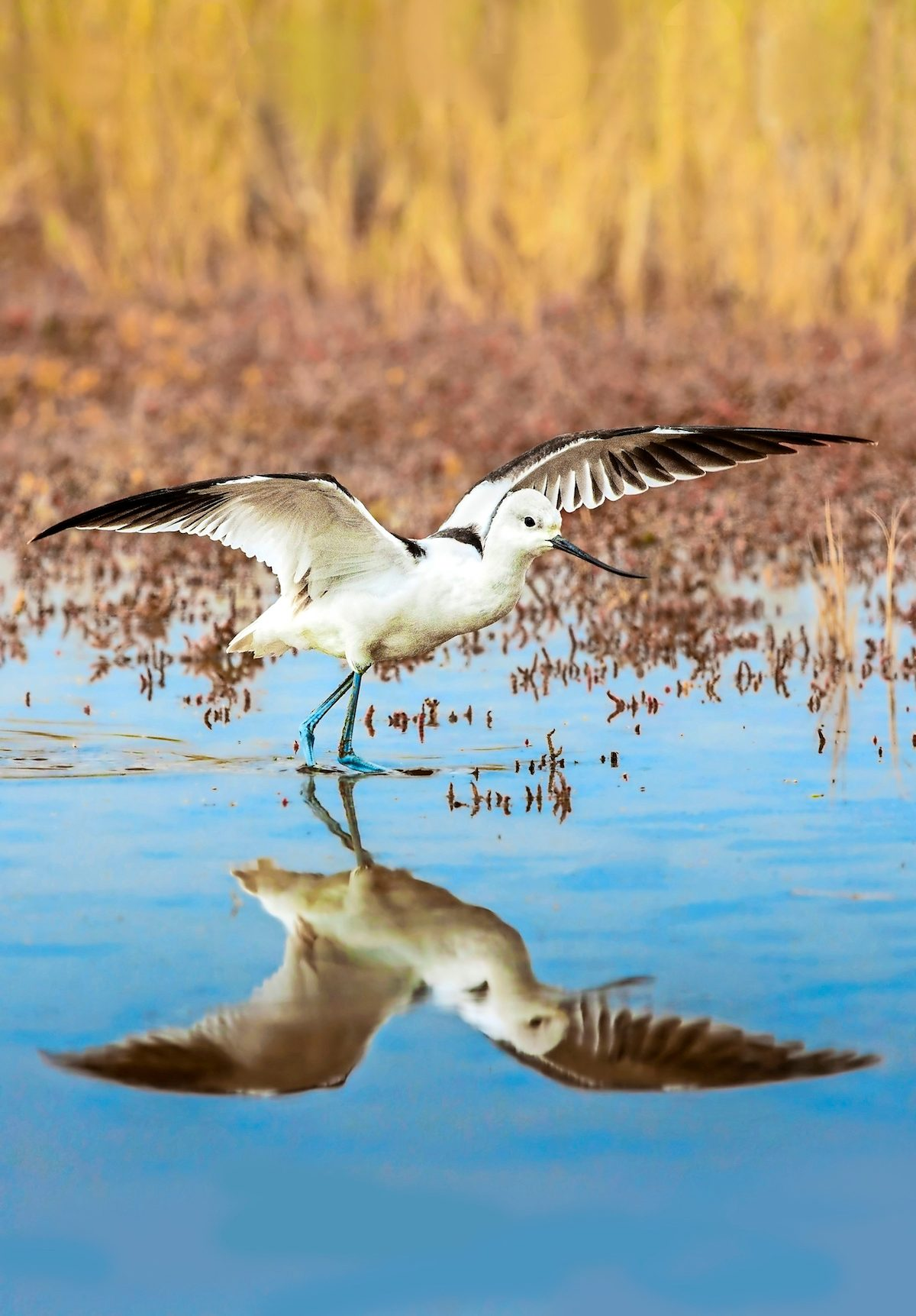 American avocet spreading its wings.