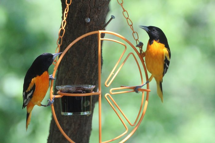 baltimore orioles on a jelly feeder