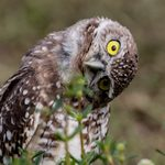5 Fascinating Burrowing Owl Facts