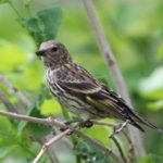 How to Attract and Identify Pine Siskins