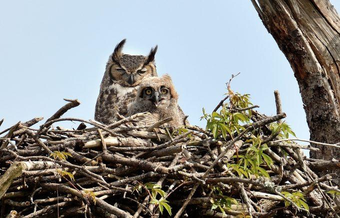 great horned owl in nest