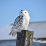 6 Fascinating Snowy Owl Facts