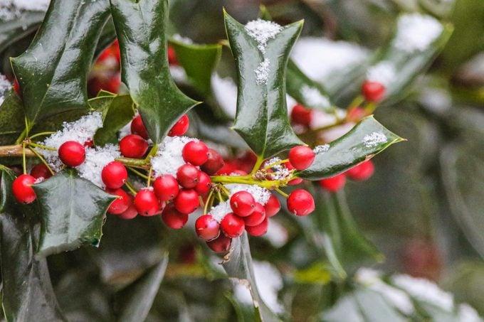 holly bush with snow