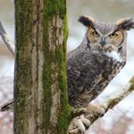 Great Horned Owl: The Greatest Nocturnal Hunter
