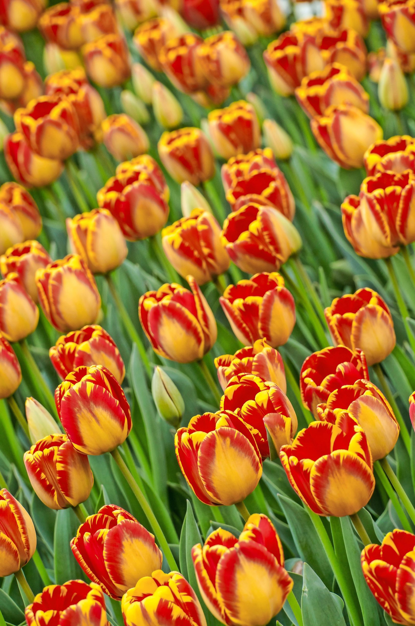Banja Luka tulips dazzle with red and orange displays.