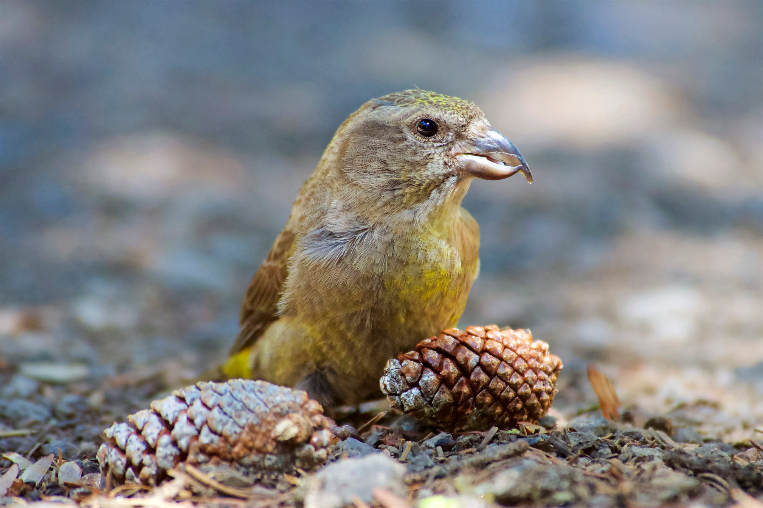 A female Cassia crossbill examining pinecones on the ground.