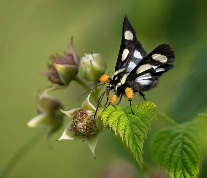 An eight-spotted forester moth on a raspberry plant.