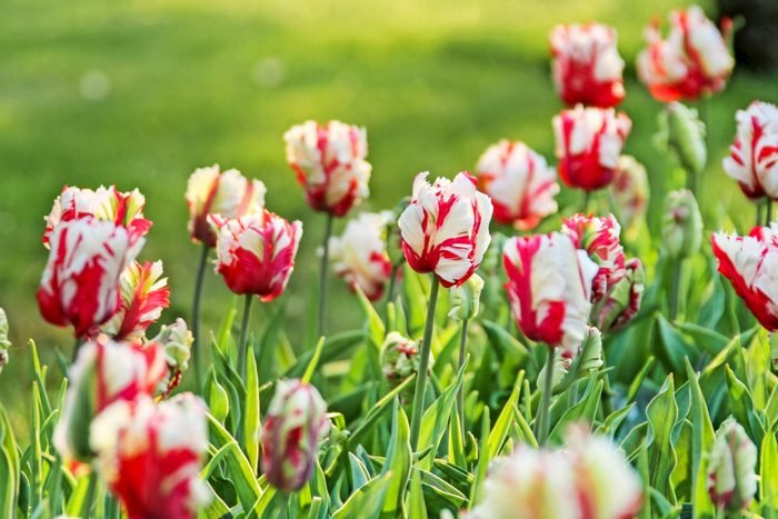 Estella Rijnveld tulips on a sunny day.